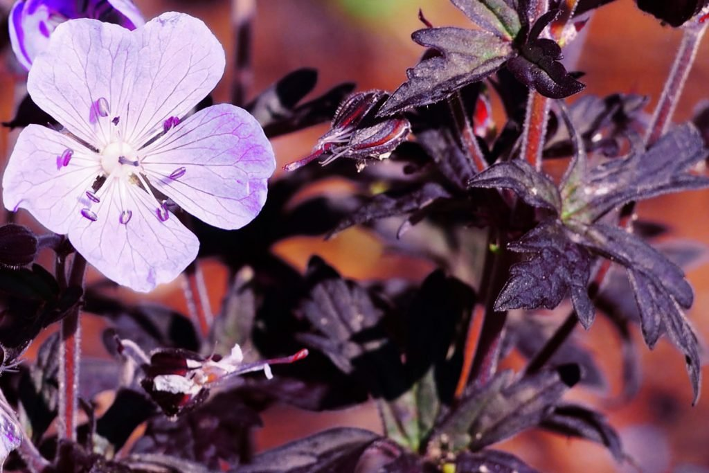Dark reiter geraniums with black leaves