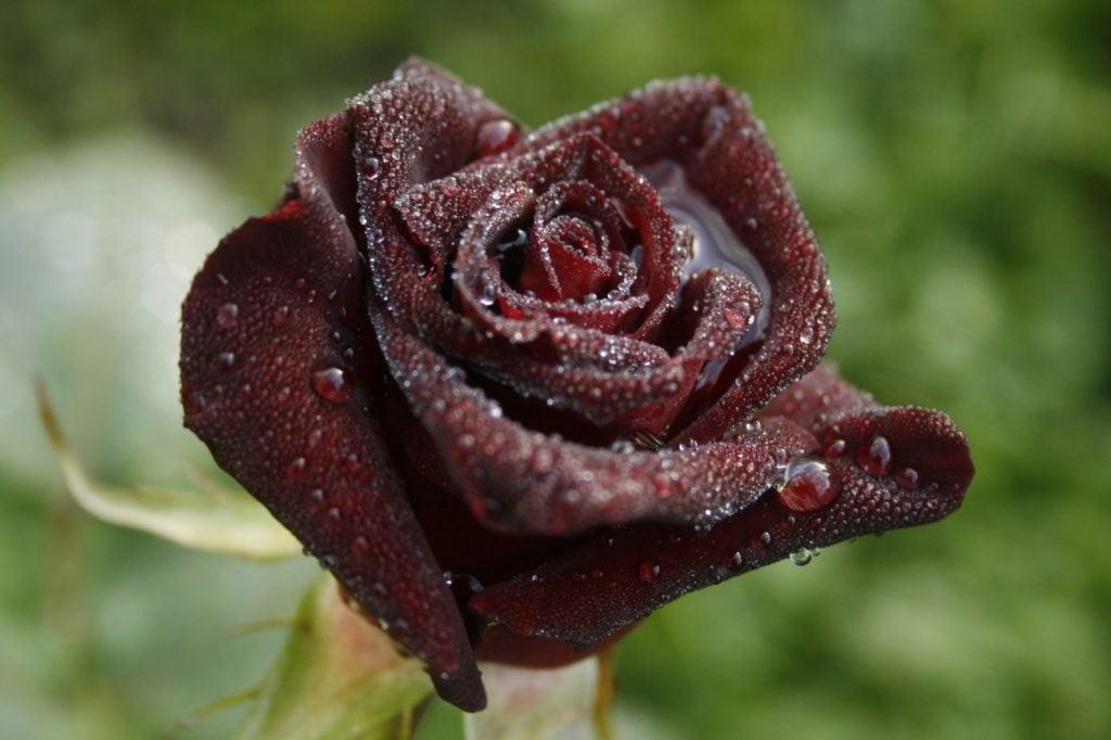 Dark tea rose hybrid called Black Baccara on a rainy day