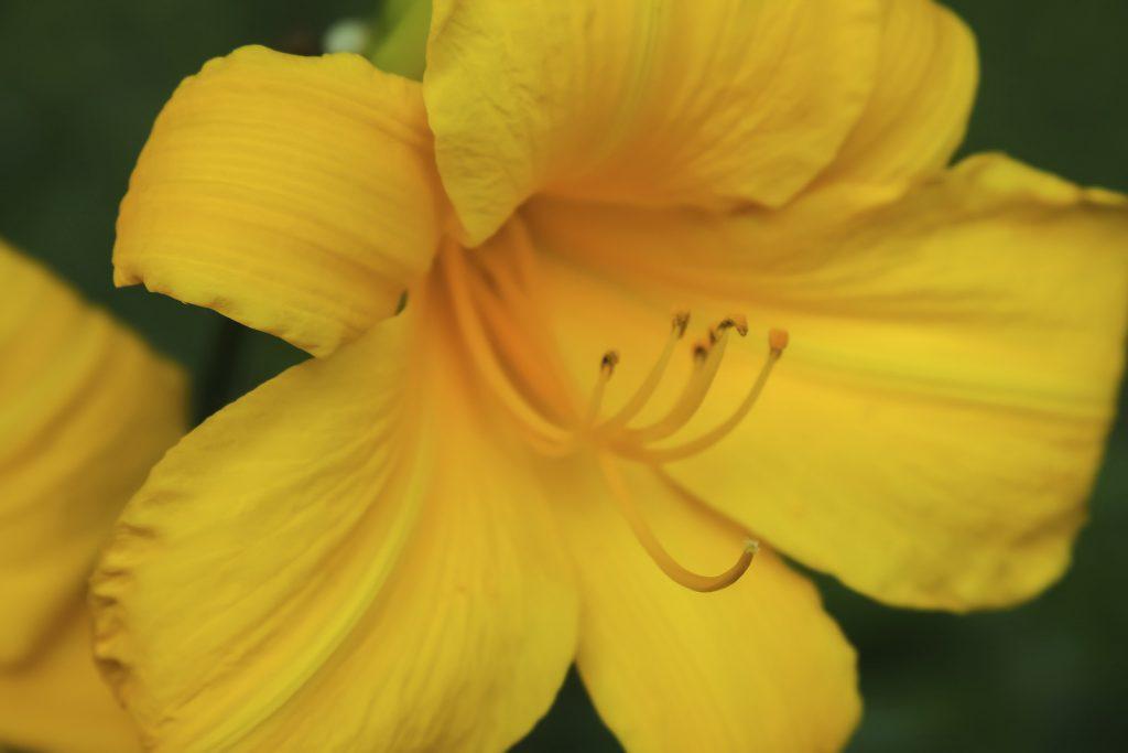 Closeup of yellow daylily blossom