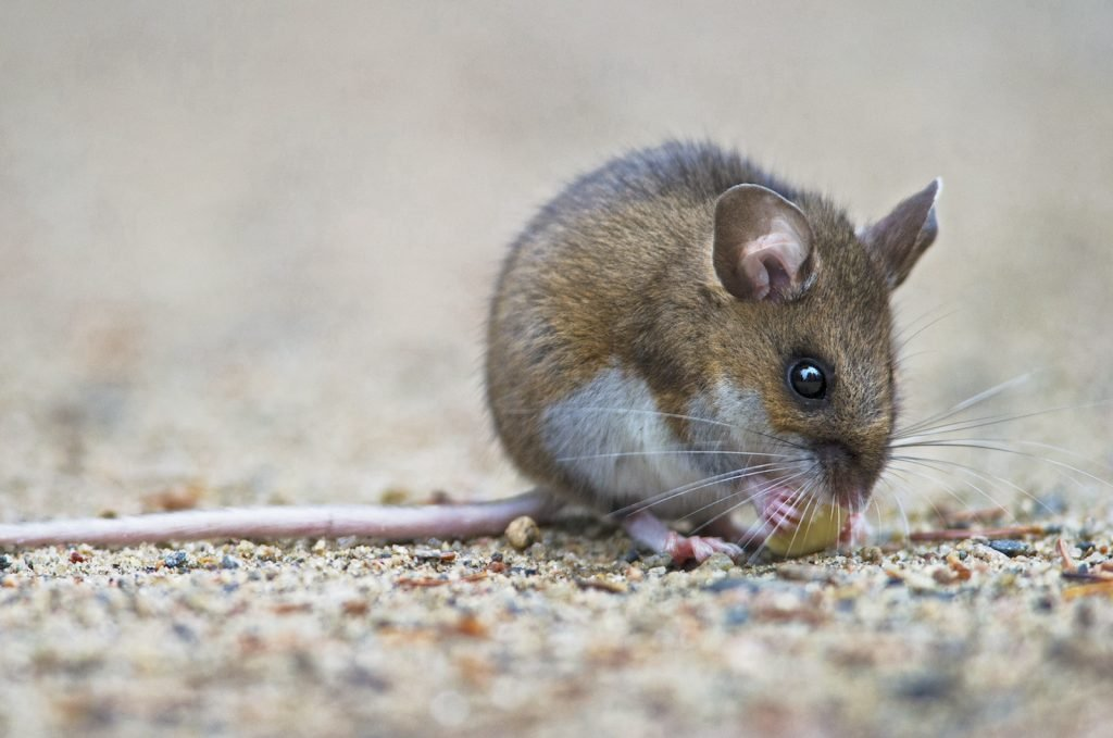Close up of deer mouse sitting in the sand eating a peanut