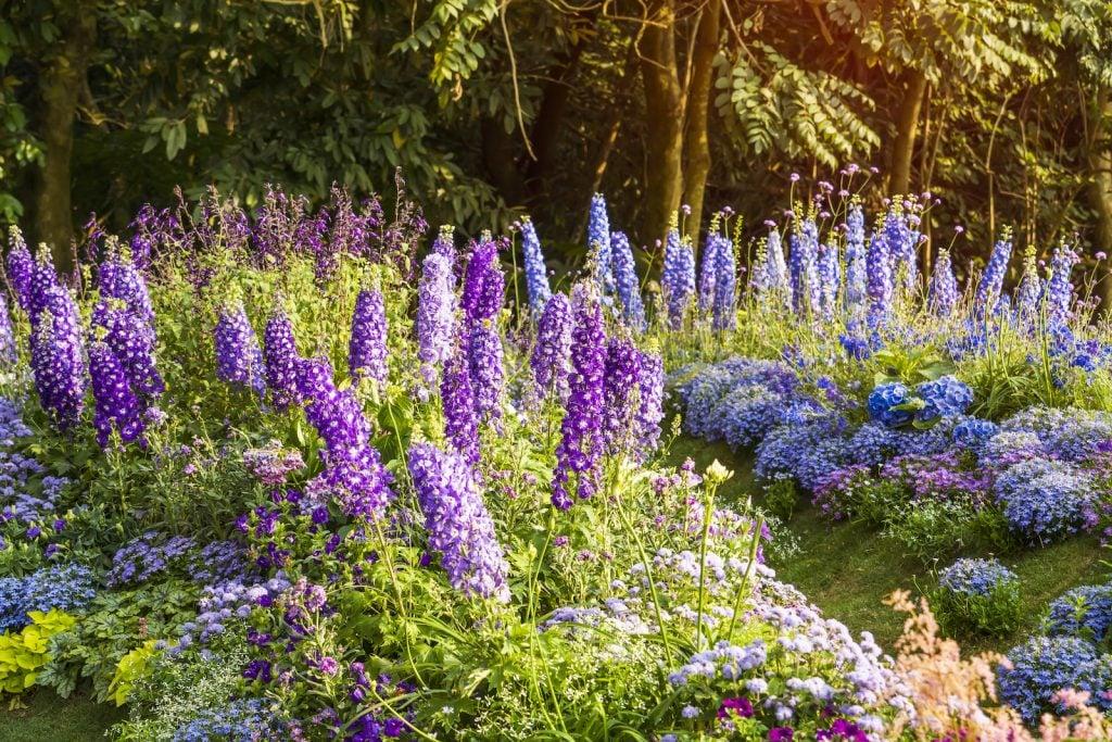 Delphinium flowers in different purple nuances in full bloom in a garden