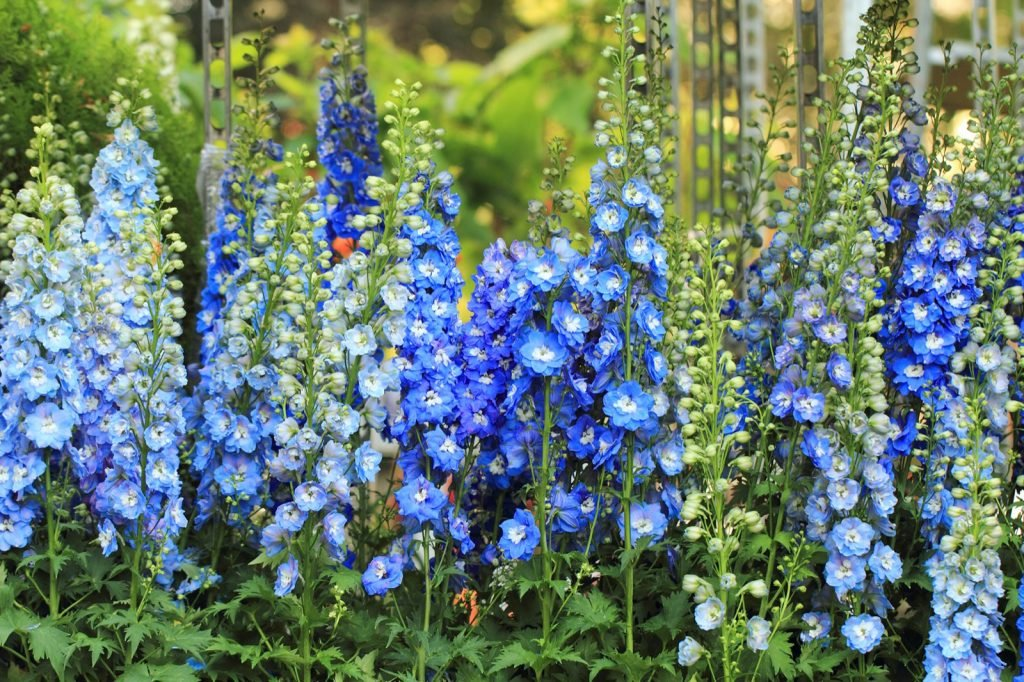 Delphinium flowers in different blue shades