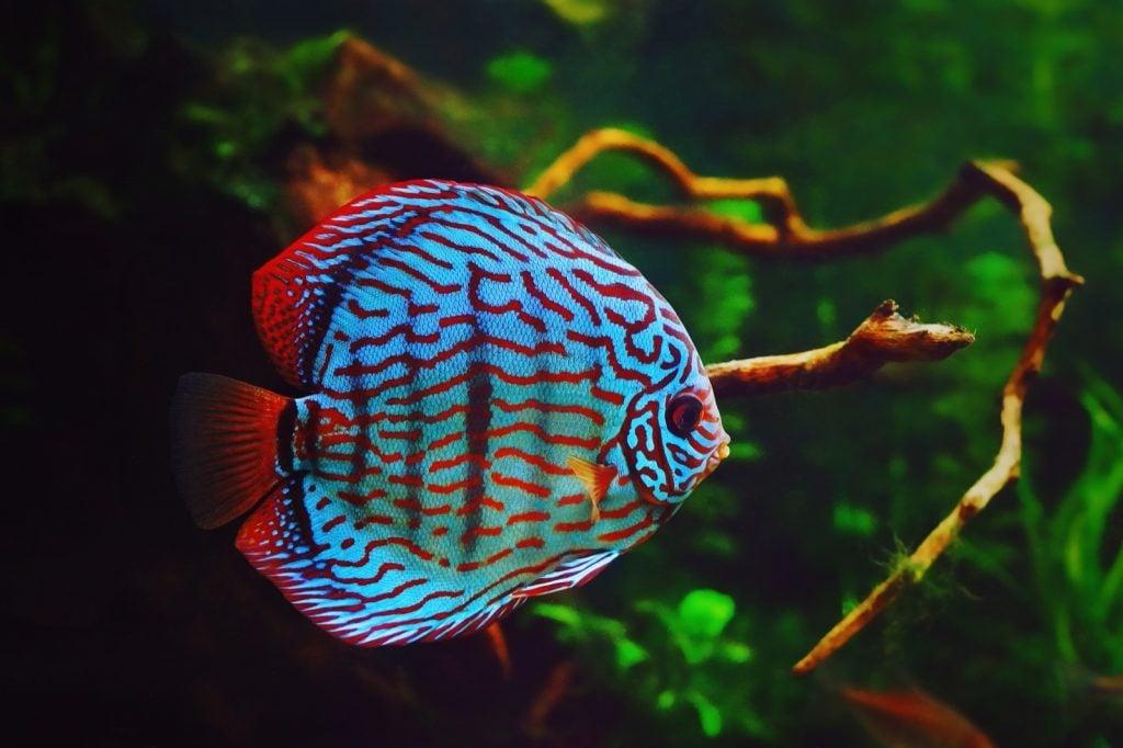 Discus fish aka Symphysodon Aequifasciatus in an aquarium