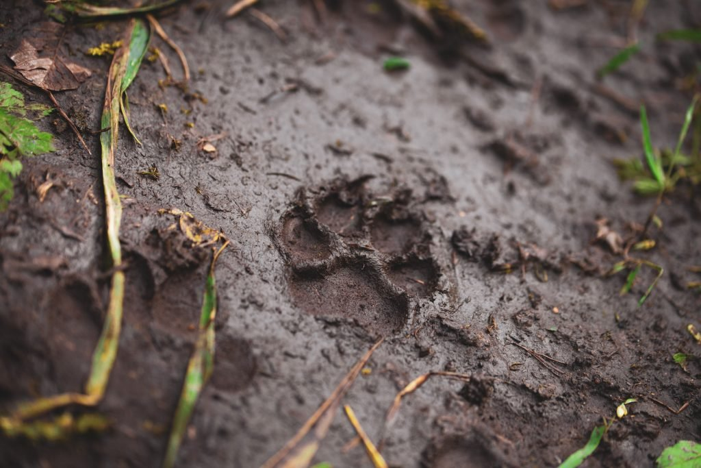 Close up of single dog footprint in the mud