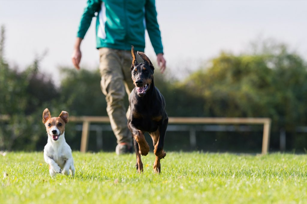 Two dogs and owner training agility