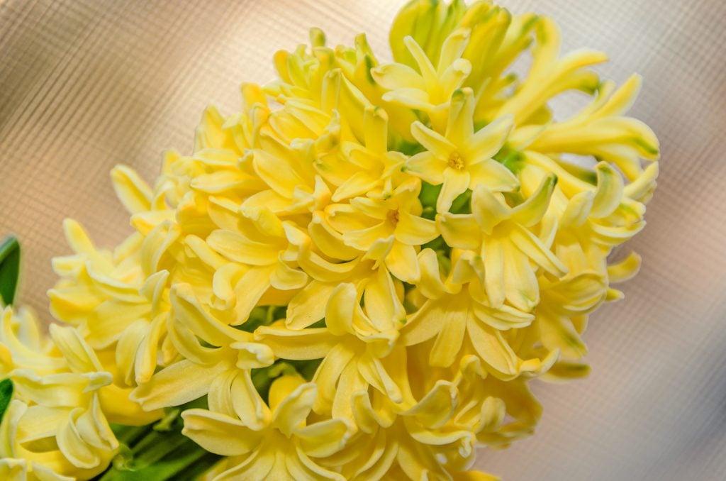 Dutch yellow hyacinth flower