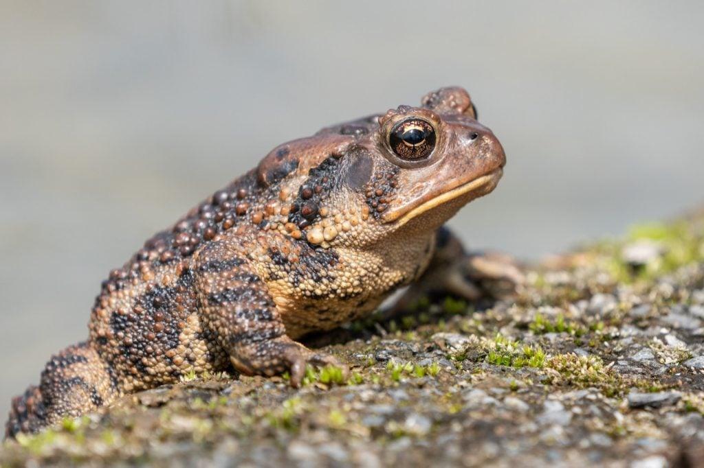 Eastern American toad aka Anaxyrus Americanus near a pond