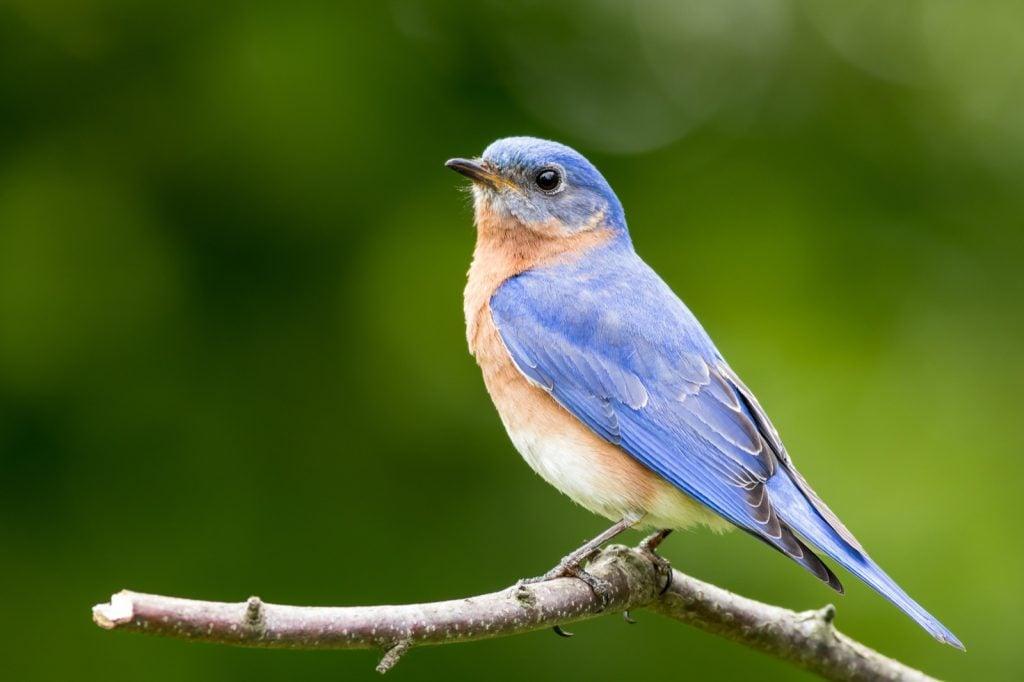 Male Eastern Bluebird aka Sialia Sialis perched on stump