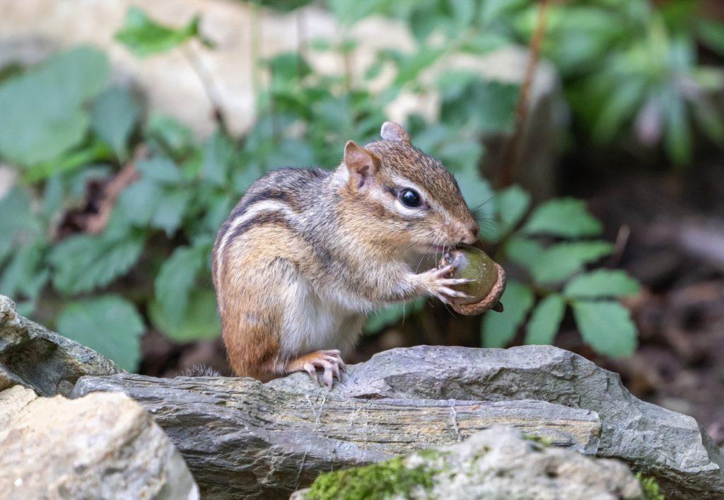 Eastern chipmunk or Tamias Striatus eating an acorn