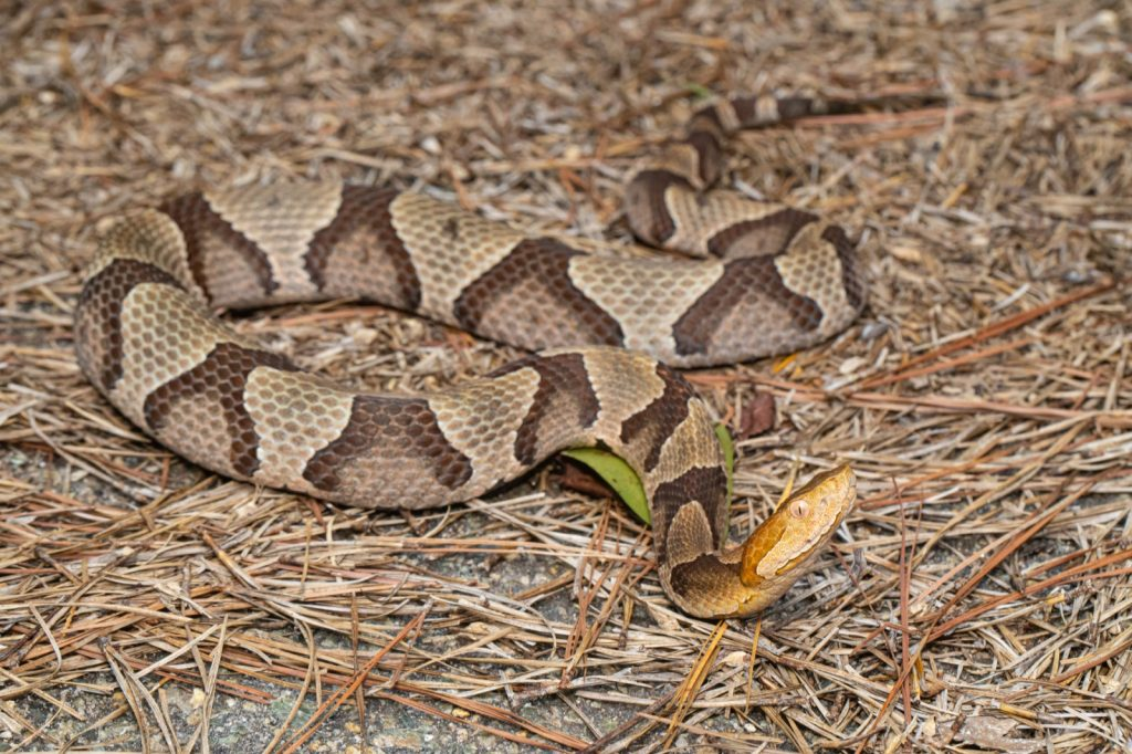 Eastern copperhead snake called Agkistrodon Contortrix