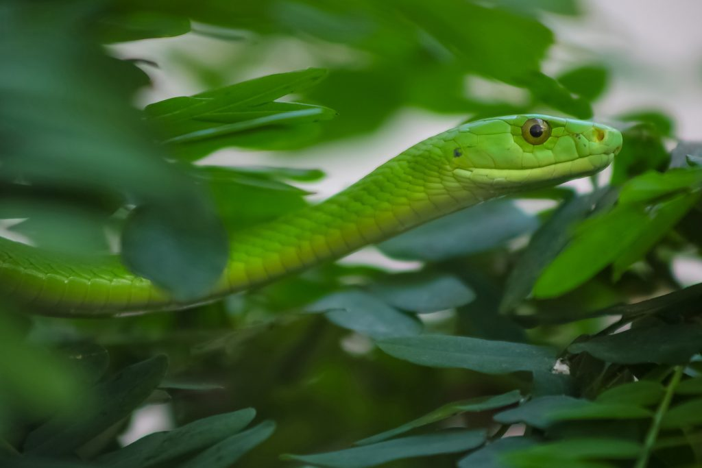Eastern green mamba snake surrounded by green leaves in a tree