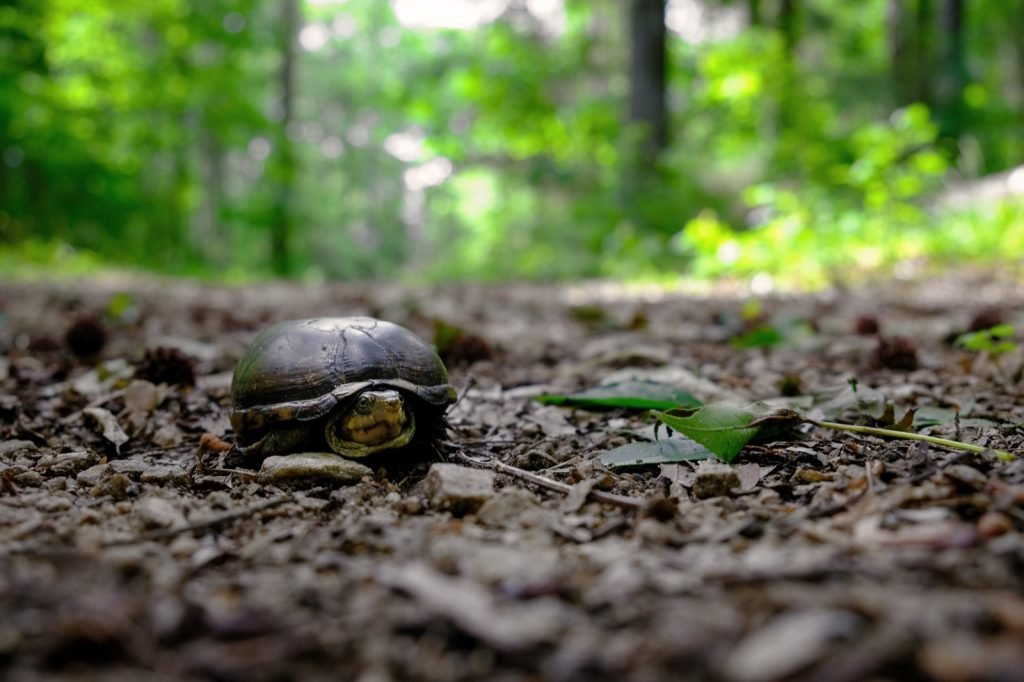 Eastern mud turtle with brown shell