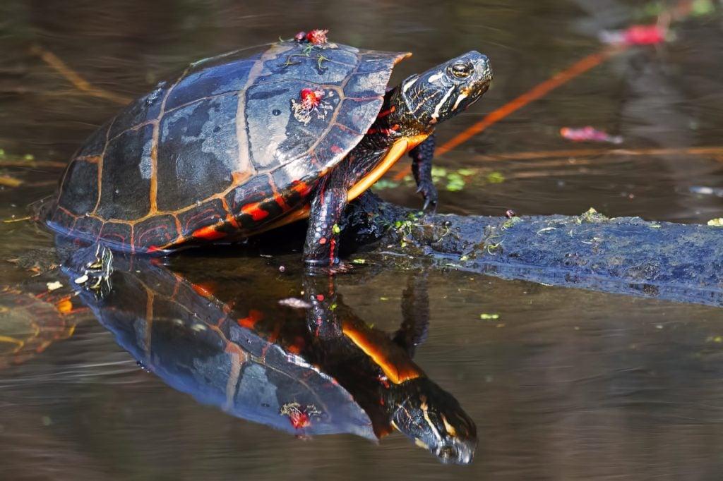 Eastern painted turtle aka Chrysemys Picta
