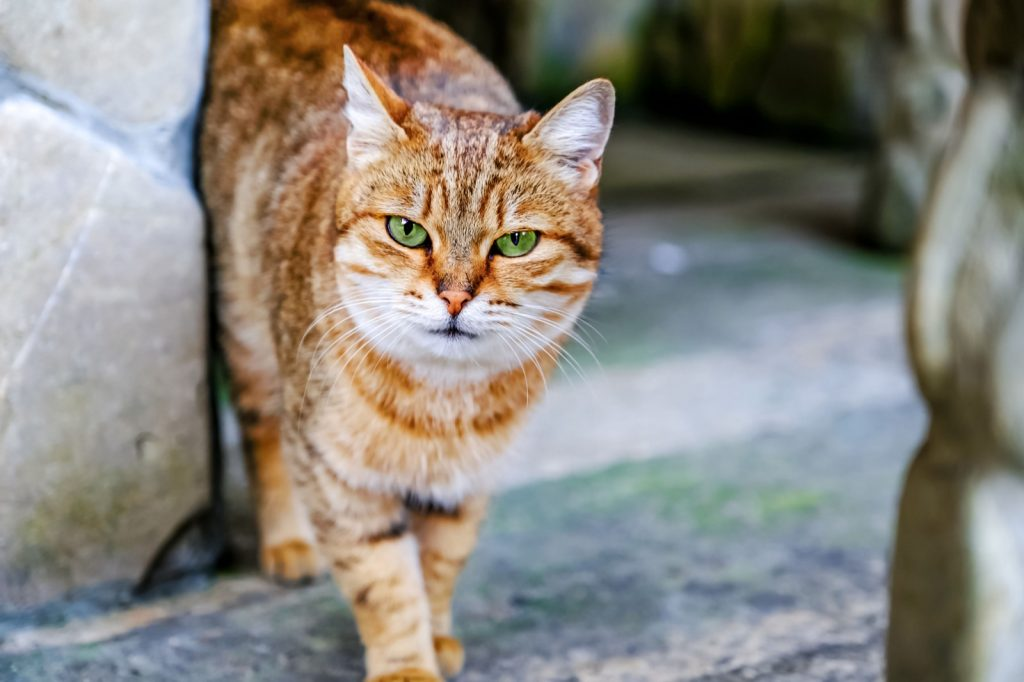 Egyptian mau cat with red fur and green eyes looking into the camera
