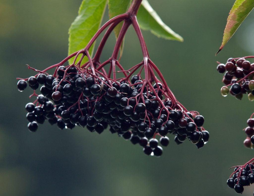 Closeup of fresh ripe elderberries hanging from a tree
