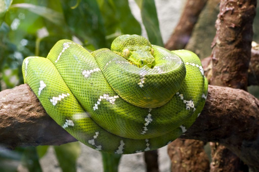 Emerald green tree boa curled up on a big tree branch