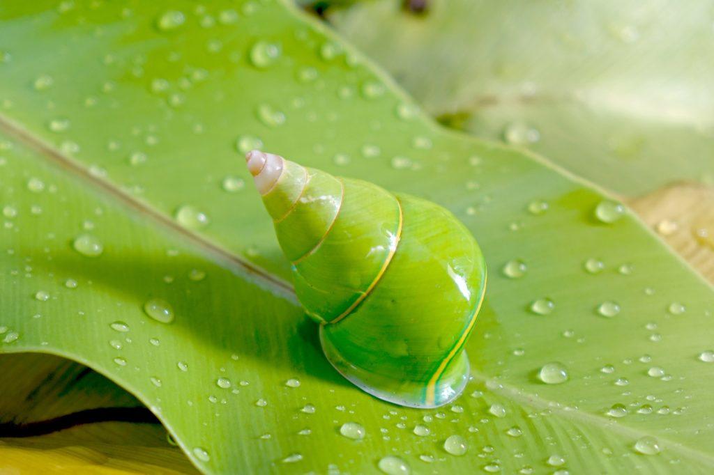 Emerald green tree snail aka Papustyla Pulcherrima