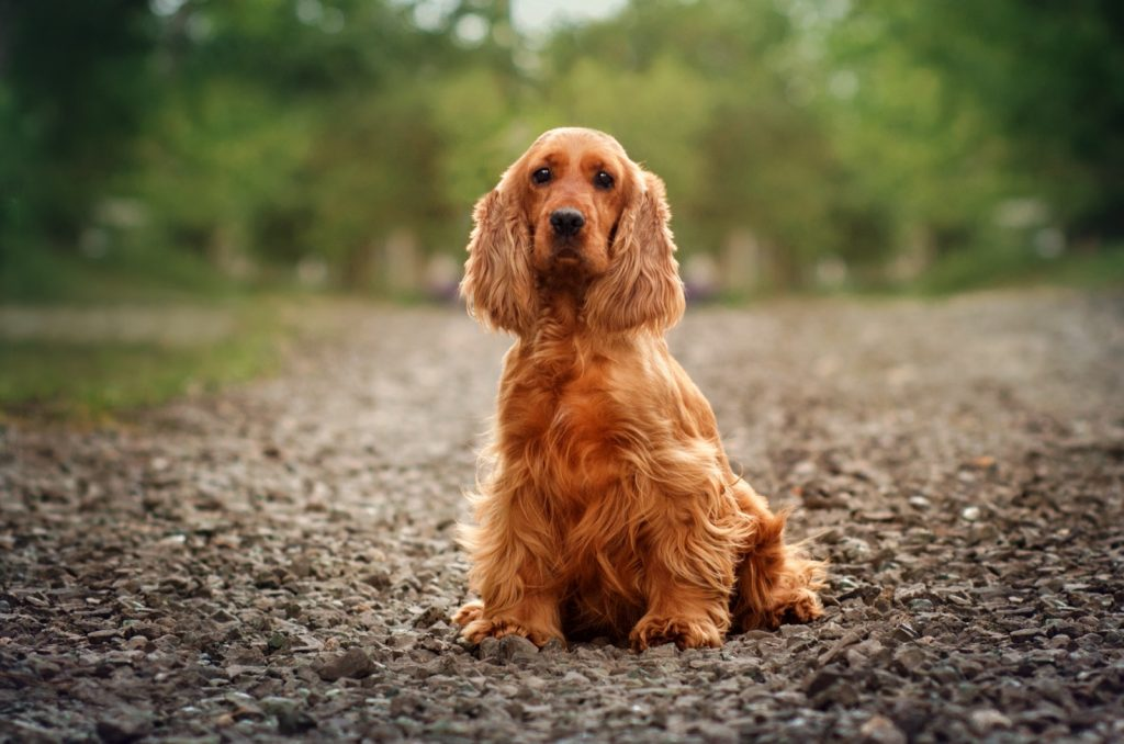 English cocker spaniel with red fur
