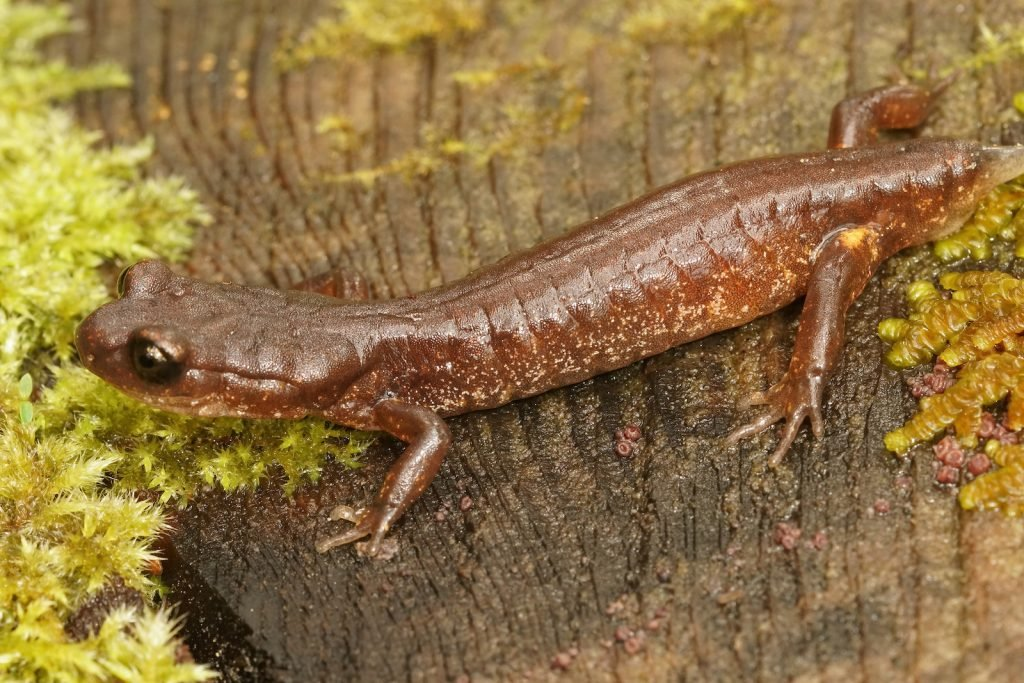 Close up of a common Ensatina with a missing tail