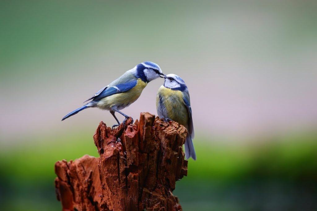 Eurasian Blue Tit feeding younger bird in a forest in the Netherlands