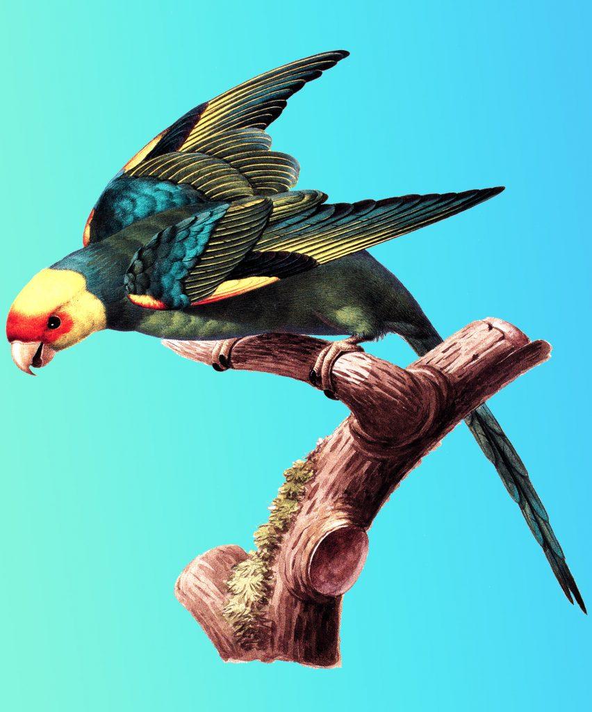 Illustration of a Carolina parakeet
