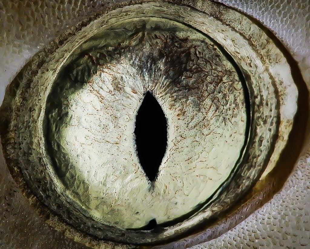 Closeup of the eye of a lemon shark