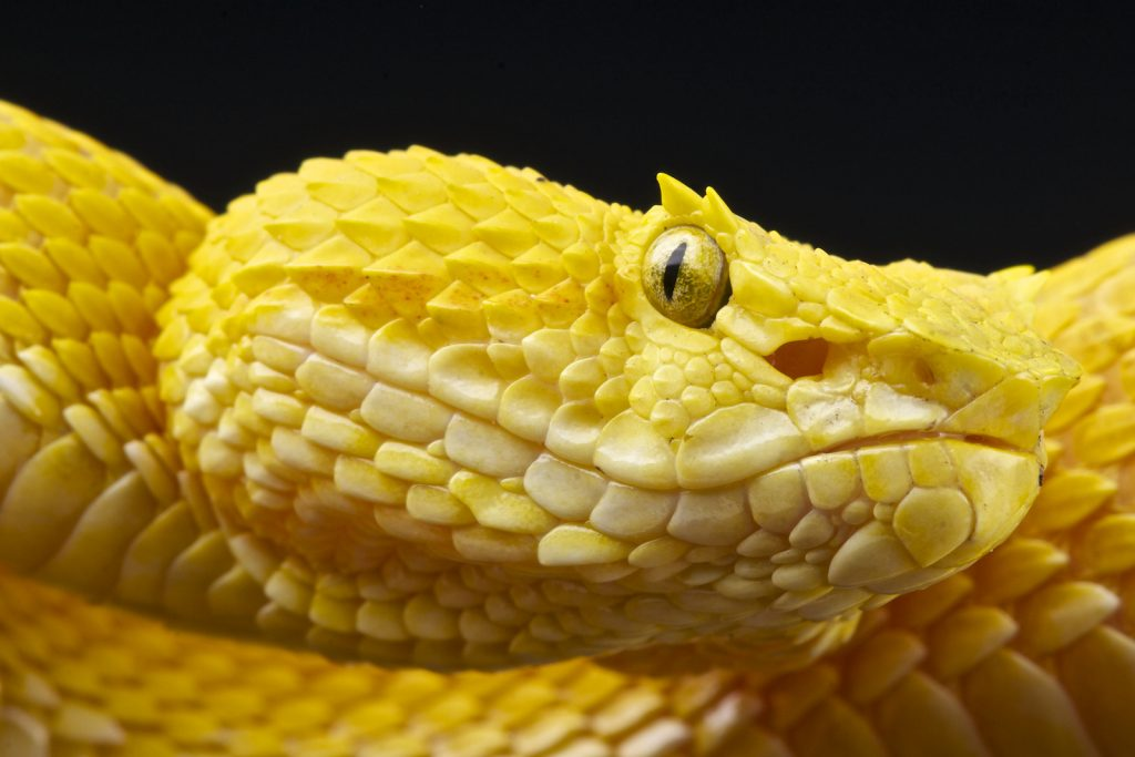 Closeup of eyelash viper showing the bright yellow color against a black background