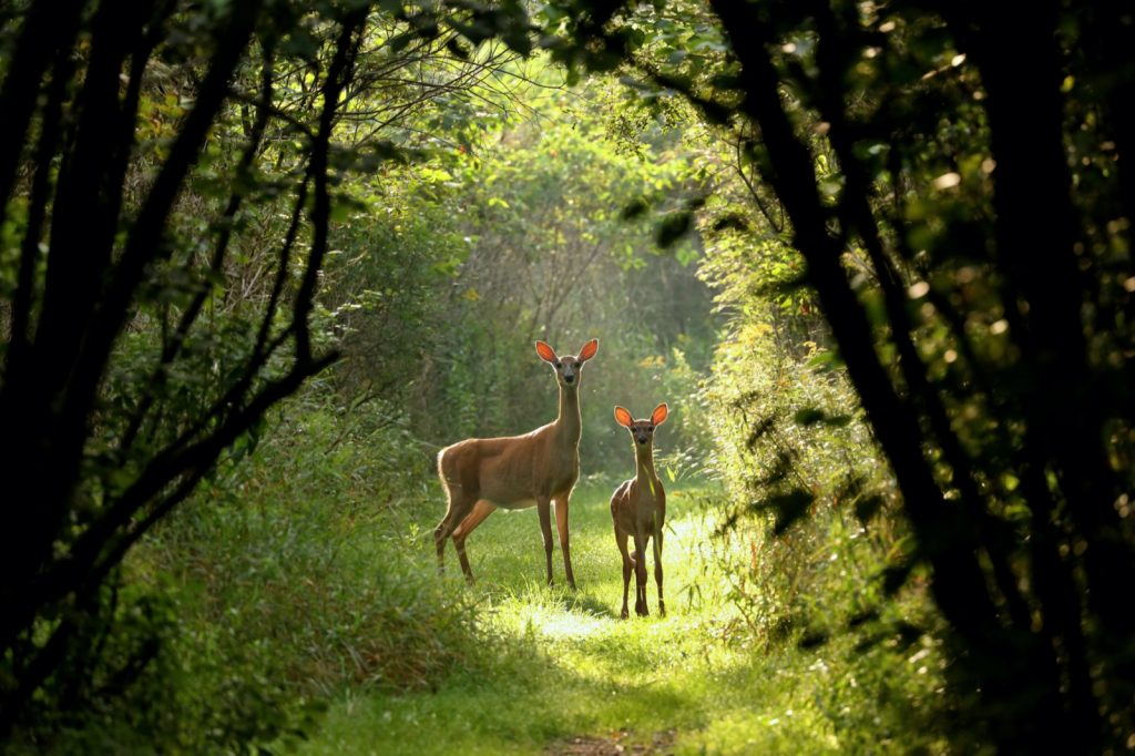 Brown colored white tailed deer with fawn on natural trail in north Wisconsin