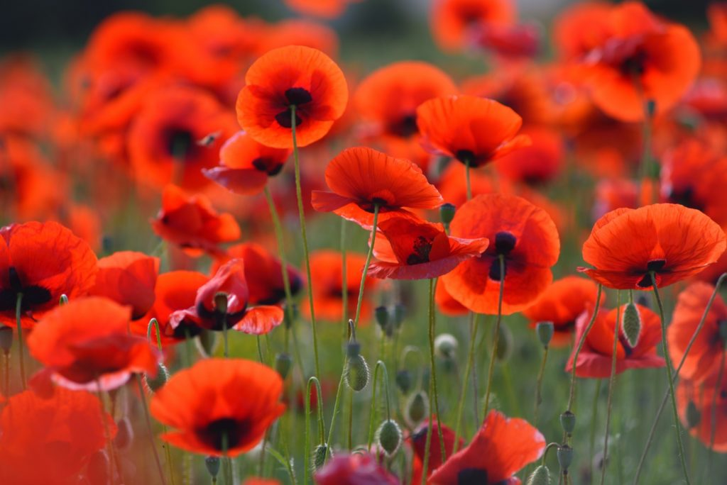 Field of blooming red poppies in grass