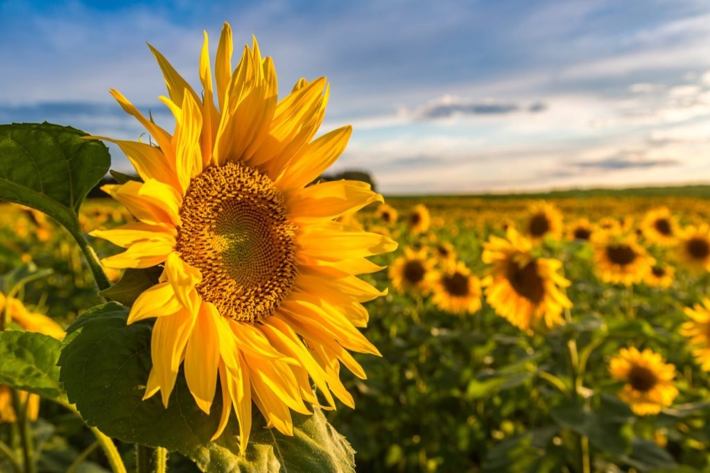 Field of blooming sunflowers on a summer day