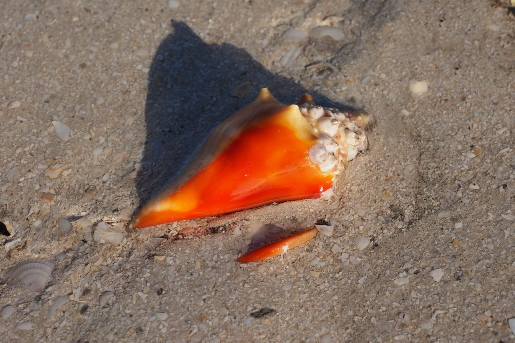 Fighting Conch shell on the beach showing off its deep orange color