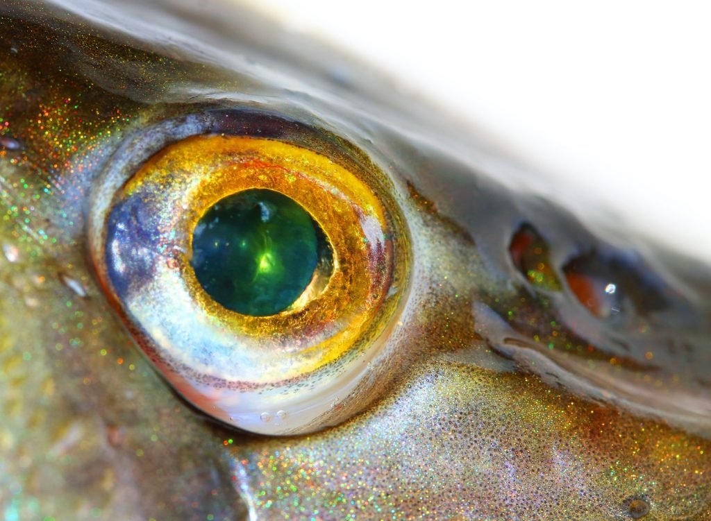 Close up of Northern Pike Esox Lucius fish eye