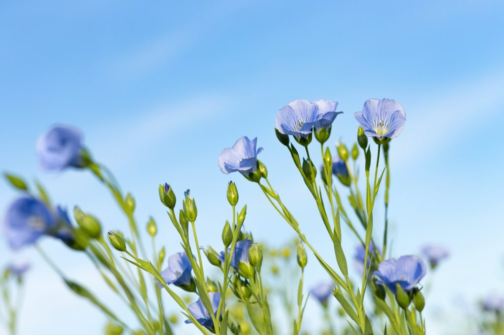 Blooming flax field with many blue flowers against the clear sky