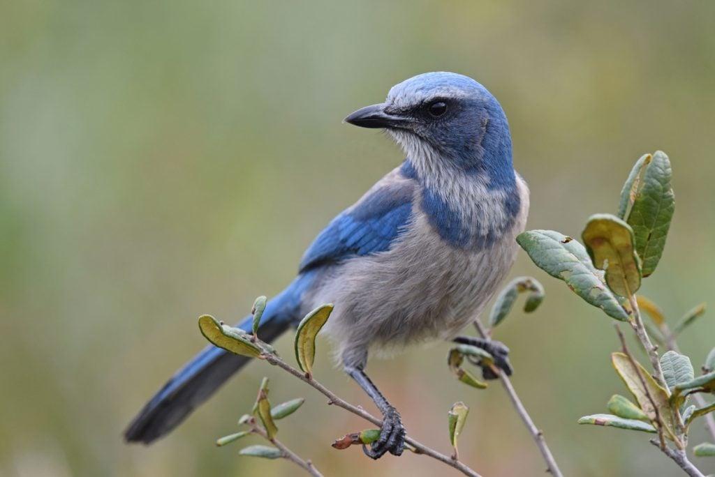 Blue and grayish Florida scrub-jay aka Aphelocoma Coerulescens