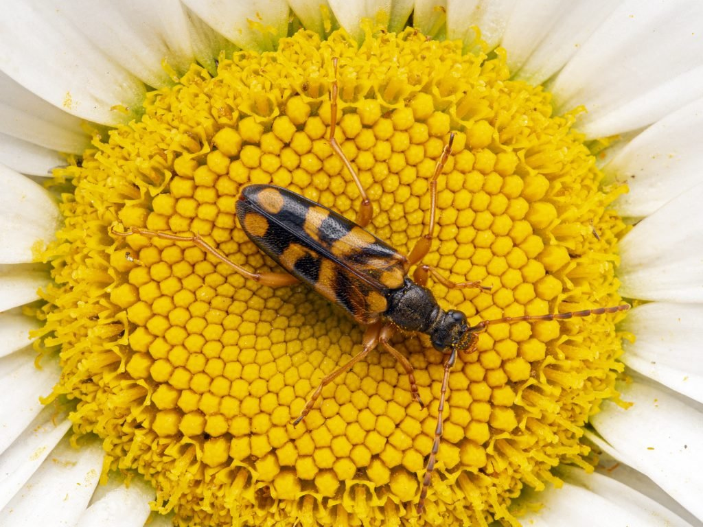 Flower Longhorn Beetle with orange markings sitting in the center of a blooming daisy flower head
