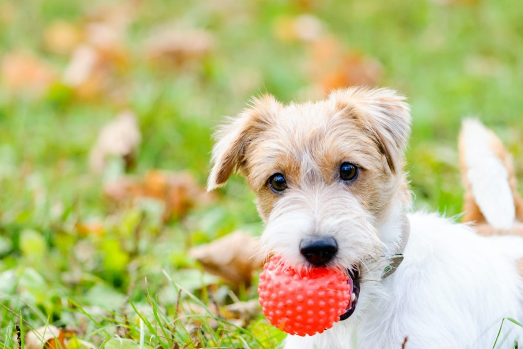 Cute fluffy dog with red toy ball in mouth