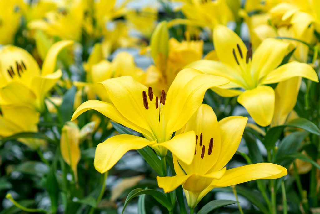 Focus on yellow lilies in a garden