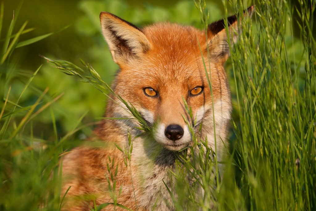 Fox sitting in tall green grass looking directly into the camera