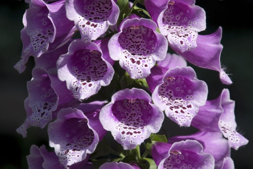Closeup of purple foxglove flower in full bloom