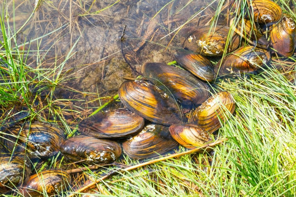 Freshwater mussels on grassy lake shore