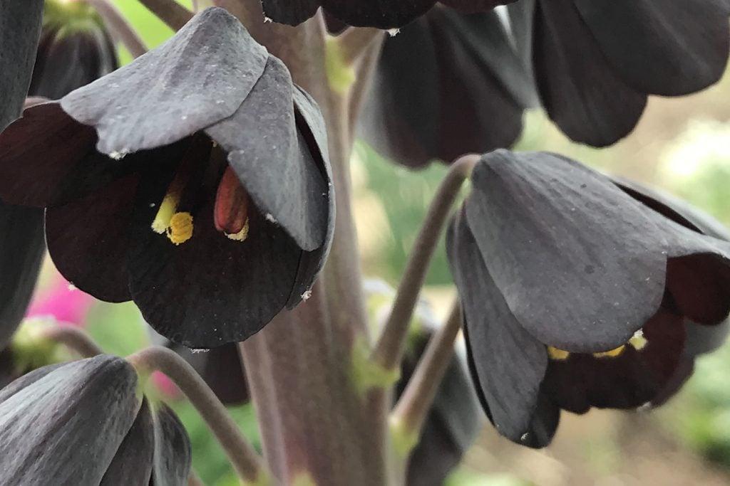 Fritillaria persica also called black persian lilies