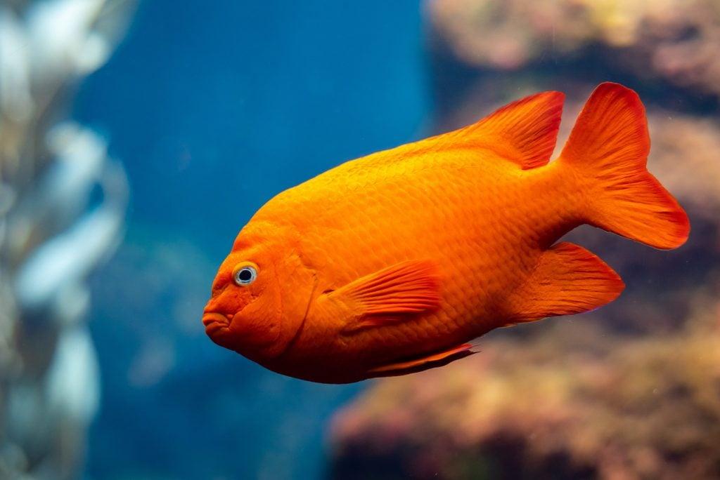 Closeup of a bright orange Garibaldi fish