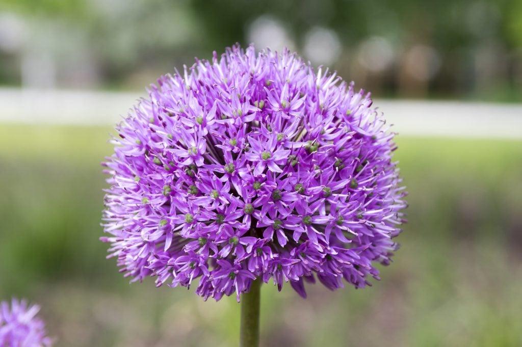 Closeup of a single soft purple garlic flower