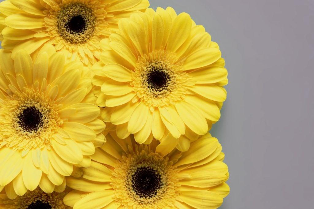 Beautiful yellow gerbera flower heads lies on a grey background