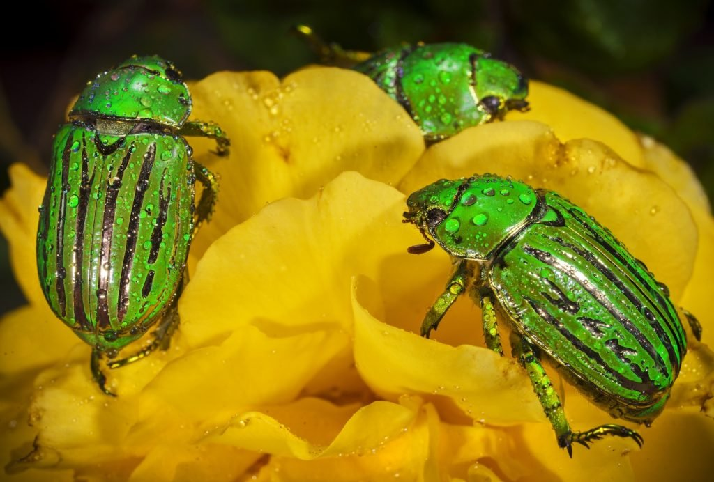 Close up of group of metallic glorious scarab beetles on a bright yellow flower covered with dew