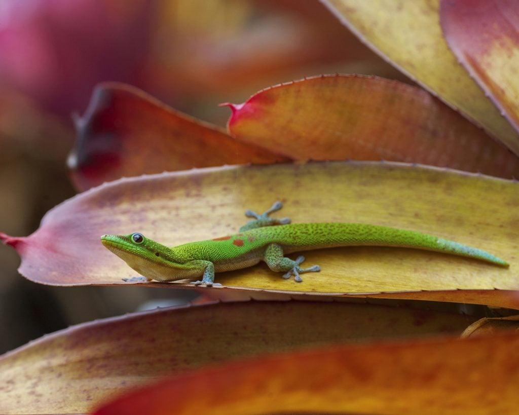 Gold dust day gecko aka Phelsuma Laticauda on a leaf