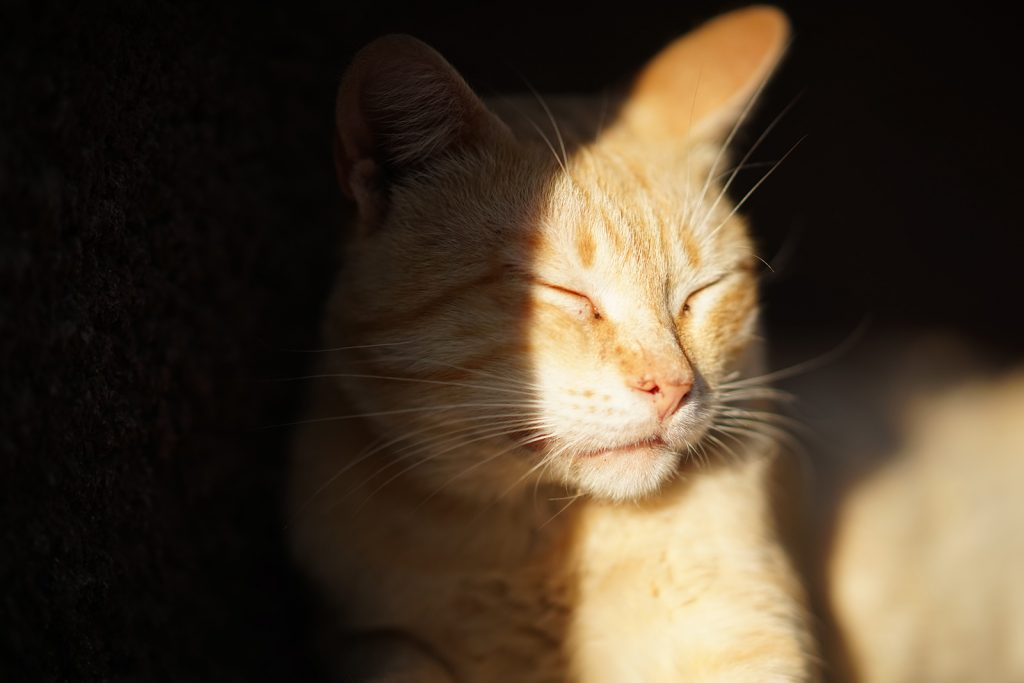 Golden cat in the sun squints from the bright light