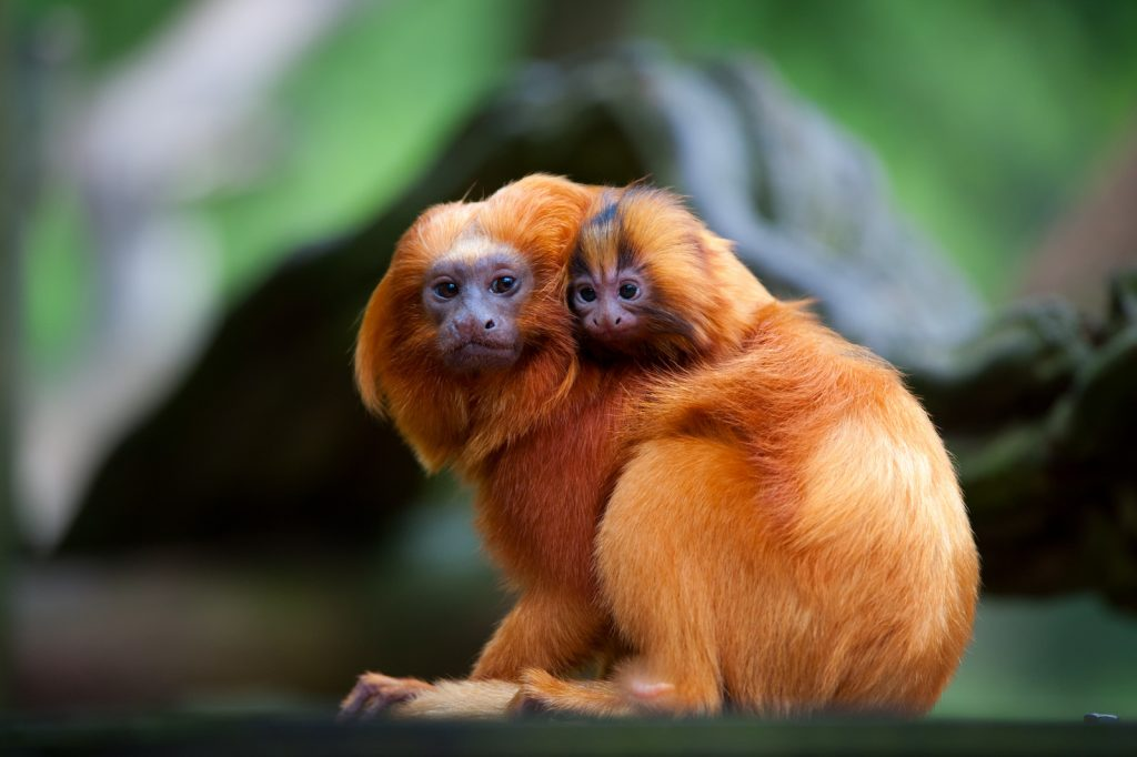 A golden lion tamarin with her baby