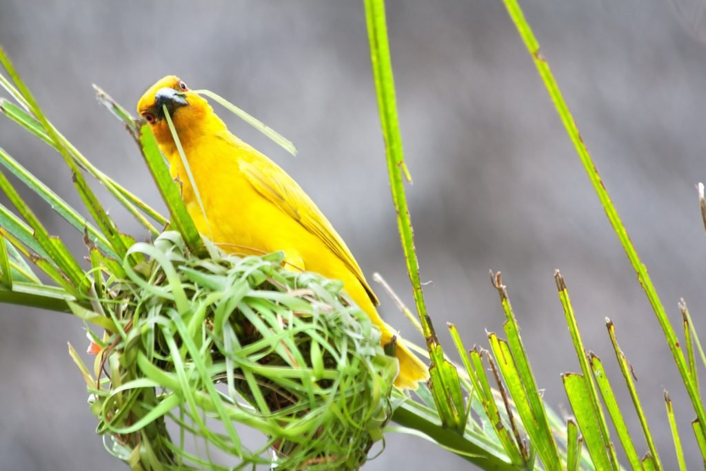 Golden palm weaver is building a new nest with green palm fibers