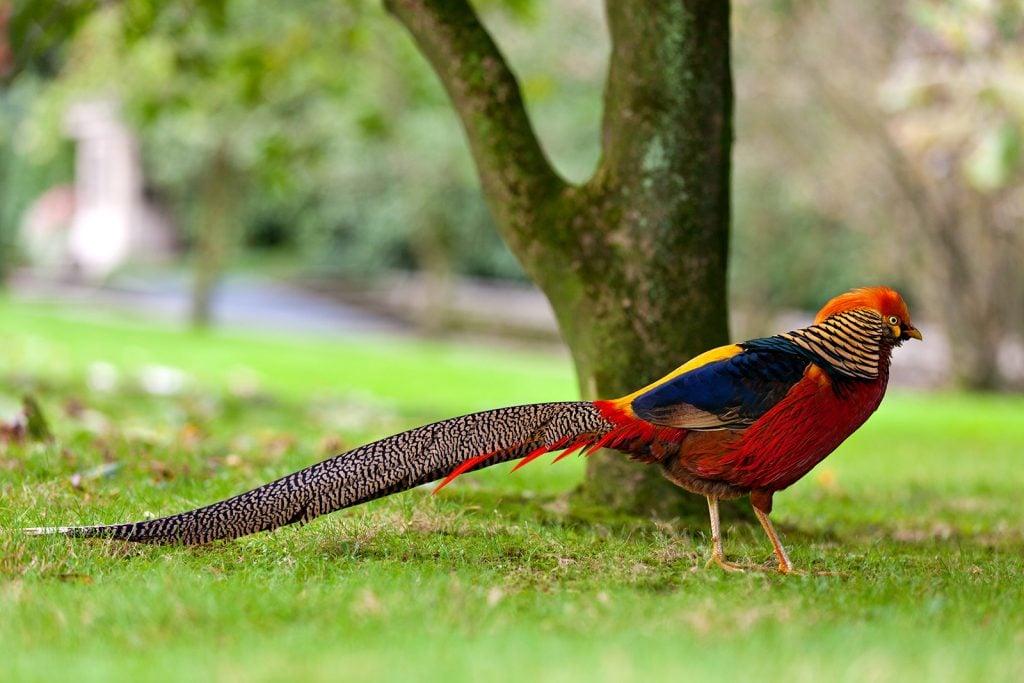 Colorful golden pheasant aka Chrysolophus Pictus